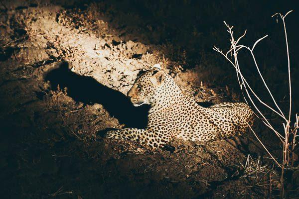 Leopard, Safari, Zambia