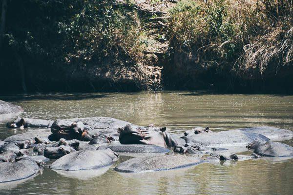 Hippos, Safari, Zambia